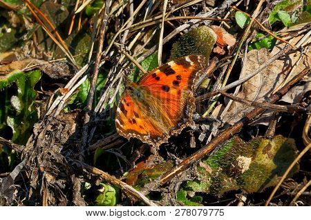 A Large Red Colored Butterfly Sits On Green Grass And Brown Branches