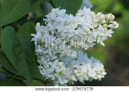 White Flowers Of The Bird Cherry On A Branch Of A Bush With Green Leaves