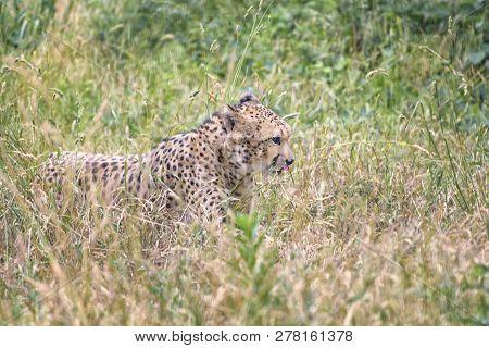 Cheetah, Acinonyx Jubatus Is The Fastest Land Animal