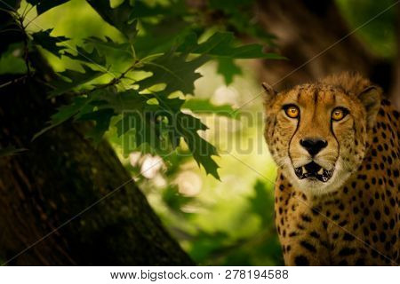 Close-up of a Cheetah (Acinonyx jubatus) with an open mouth on a tree looking focused into the camera. Portrait of a beautiful Cheetah with hypnotic look.
