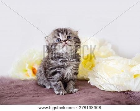 Pedigree Fluffy Little Scotsman. Portrait Of A Little Kitten Among Flowers