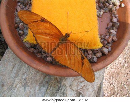 Single Butterfly Feeding