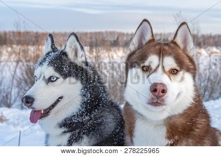 Two Siberian Husky Dogs Looks Around. Husky Dogs Has Black, Brown And White Coat Color. Snowy White