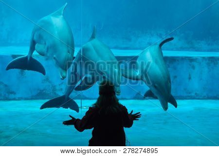 GENOA, ITALY - MARCH 22, 2016: Animal trainer performs with common bottlenose dolphins (Tursiops truncatus) in the Genoa Aquarium in Genoa, Liguria, Italy.