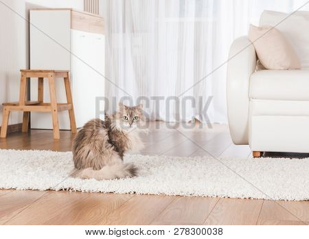 Fluffy cat lying on soft carpet