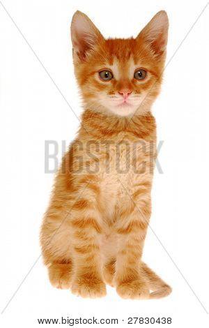 Sitting kitten on a white background