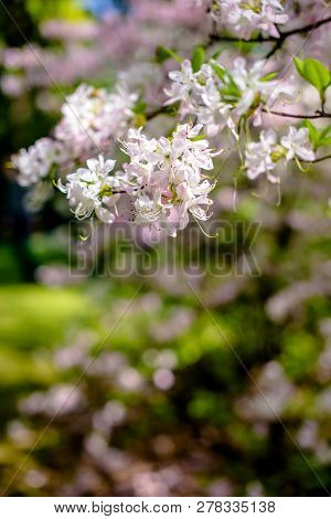 White Rhododendron Blooms Against The Background Of Green Grass