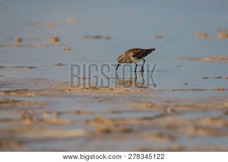 Little Sandpiper Looking For Food In Pink Lagoon, Sandpiper Bird In Las Coloradas In Mexico, Reflect