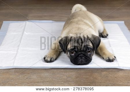Puppy On Absorbent Litter. Accustom The Dog To The Toilet, Training Pets.