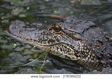 Great Look Into The Eyes And Face Of An American Alligator.
