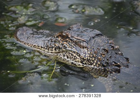 Amazing Stunning Alligator In The Bayou Of New Orleans.