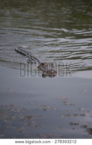 Stealthy Alligator In The Swamp And Bayou Of New Orleans.