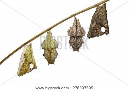 Isolated Chrysalis Of Tabby Butterfly (pseudergolis Wedah) Hanging On Twig With White Background