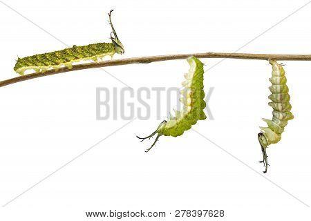 Isolated Transformation Caterpillar Of Tabby Butterfly (pseudergolis Wedah) Preparing To Chrysalis O