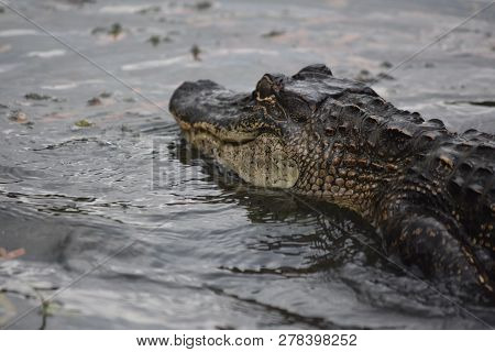 Fantastic Look At The Profile Of A Large Alligator In Louisiana.
