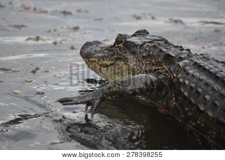 Alligator Creeping Through Shallow Water In New Orleans.