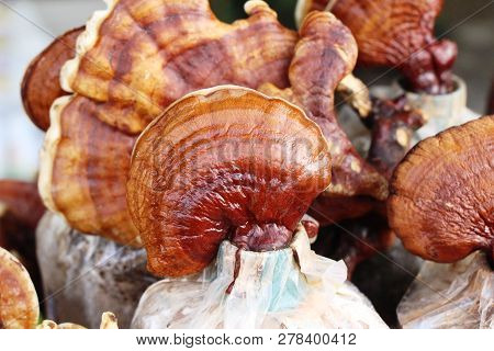 Lingzhi Mushroom Or Ganoderma Lucidum With Nature