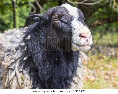Romanov Breed Sheep.sheep On A Background Of Green Foliage