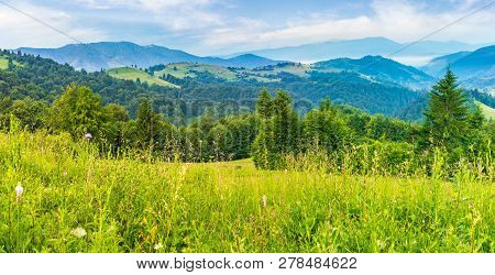 Panorama Of A Beautiful Grassy Meadow In Mountains At Sunrise. Spruce Forest On A Hillside. Rolling