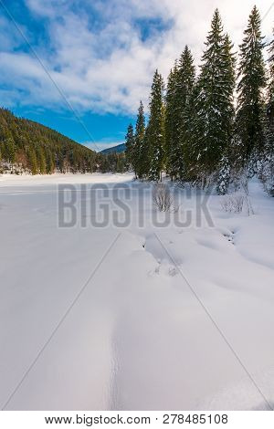 Spruce Trees Around Snowy Meadow. Beautiful Winter Scenery In Mountains. Wonderful Sunny Weather Wit