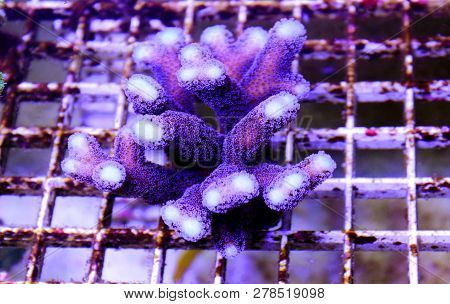 Purple Stylophora Sps Coral - (stylophora Pistillata)