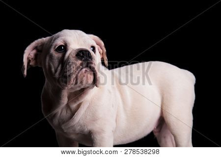 side view of white english bulldog looking up to side while standing on black background