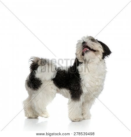 side view of funny and furry toy dog looking up to side while panting and standing on white background
