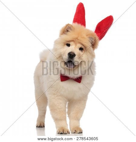 excited chow chow wearing red bowtie and rabbit ears headband standing on white background with mouth open and blue tongue exposed poster