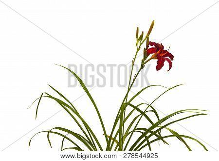 Bush Of  Daylily ( Hemerocallis)