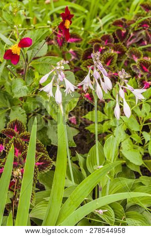 Color Combination Of Beds With Hemerocallis, Hosta, Dahlia And Seed Coleus