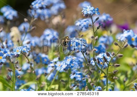 A Fly Hoverfly On A Little Blue Flower Of Forget-me-not