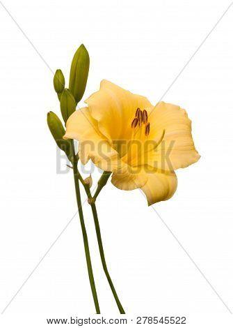 Buttercup Yellow Hemerocallis  On A White Background  Isolated