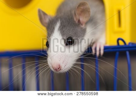Portrait Head Of White And Gray Tame Mouse Hamster With Shiny Eyes Looking From Bright Yellow Cage O