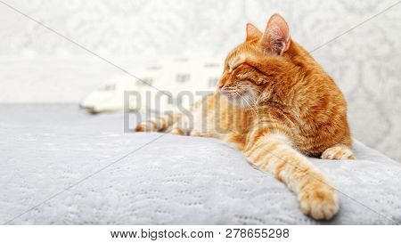 A ginger cat lays on the bed and sleeps with closed eyes and pulling out the one front paw. Shallow focus and blurred background. poster
