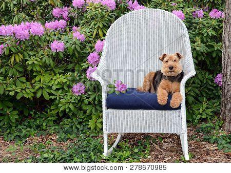Welsh Terrier Relaxing On Blue Pillow In White Wicker Chair In Rhododendron Garden