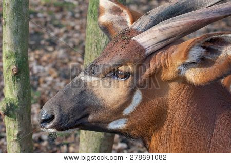 Portrait Of A Biesbok Antelope Or Tsessebe, Damaliscus Standing In Grassland With Trees In The Backg