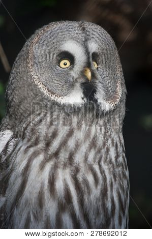 The Great Grey Owl or Lapland Owl, Strix nebulosa, on a natural forest background poster