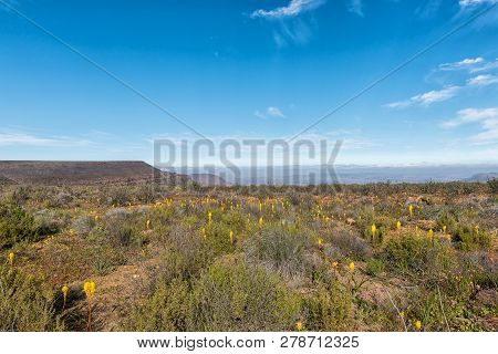 Yellow Bulbinellas (bulbinella Nutans), On Top Of The Gannaga Pass In The Tankwa Karoo Of South Afri
