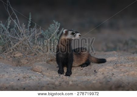Steppe Weasel Or Masked Polecat (mustela Eversmanii) Juvenile Standing Near Burrow In Natural Habita