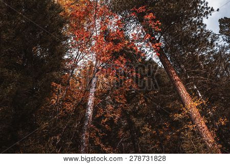 A Wide-angle Colorful View From The Ground Of A Red And Yellow Autumn Rowan Bush In A Fall Taiga Cov