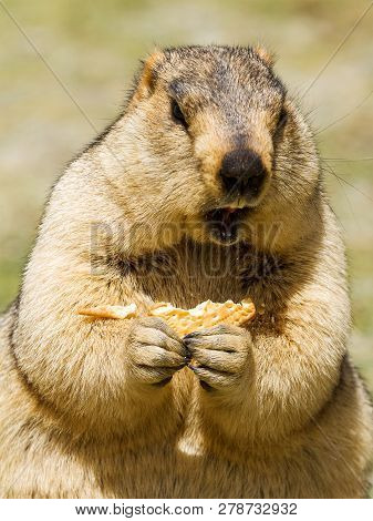 Funny Himalayan Marmot (groundhog) With Bisсuit On The Green Meadow In The Vicinity Of Pangong Tso L