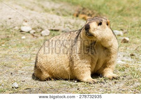 Funny Suprising Marmot (groundhog) On The Green Grass Looking Around Their Burrow In The Vicinity Of