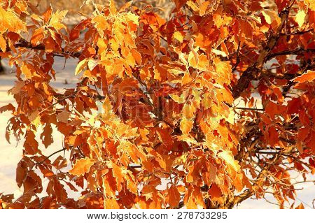 A Close Up Of Autumn Leaves Still On A Tree In January.