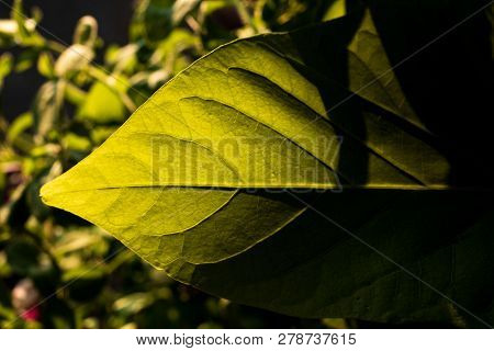 Green Leaf With Sunlight And A Hard Shadow To The Side