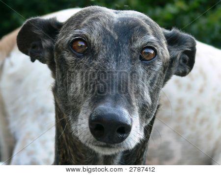 Greyhound Head