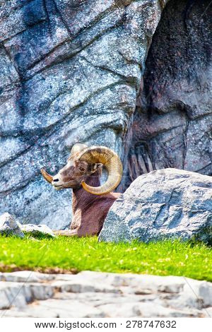 Bighorn Sheep Resting In Rocky Places In The Canadian Rockies