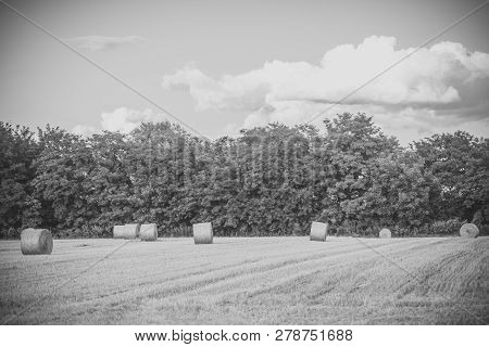 Haylages Rolled On Cut Grass, Fodder. Hay Bales Dry On Field, Agriculture. Fodder, Forage, Haymaking