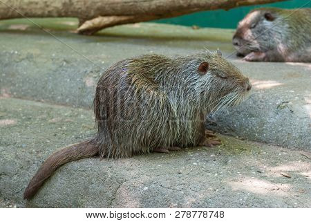 The Coypu  Also Known As The Nutria Having Rest On A Concrete Surface After Bath Procedures Being In