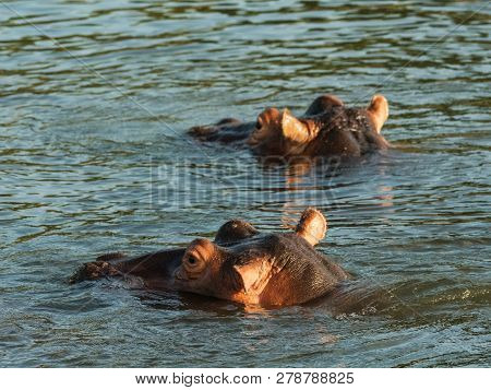 Hippo In Zambezi River Showing Warning With Mouth Wide Open. Hippo In The Zambezi River At Sunset, Z