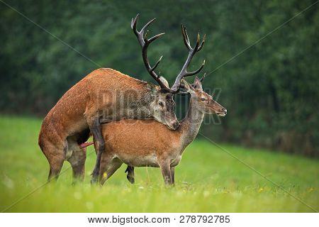 Copulating Red Deer, Cervus Elaphus, Couple In Autmn.